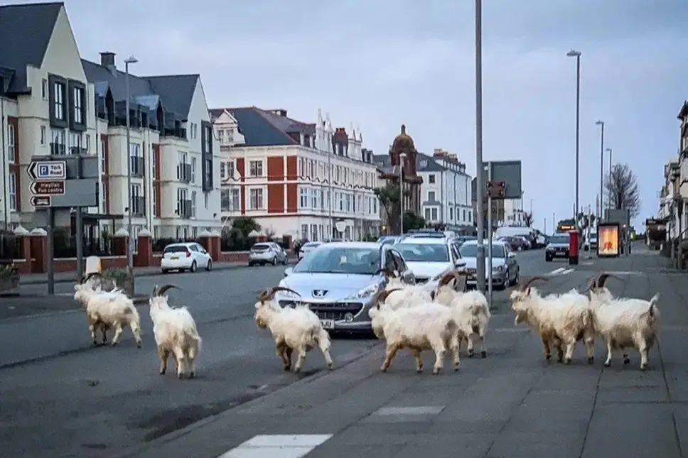 疫情期间威尔士海滨小镇一群野生动物复苏了,相比疫情和核辐射,原来...  疫情相关 第2张